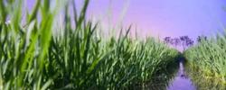 """海水稻 把盐碱地""""种""""成智慧农田在盐碱地上怎样种植海水稻?种植海水稻后的盐碱地真的能变成""""良田""""吗?[阅读]"""